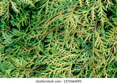 blurred leaves of the thuja tree background, selective focus. Thuja occidentalis is an evergreen coniferous tree