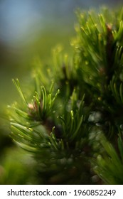 blurred macro nature phantasy close up with focus on some needles