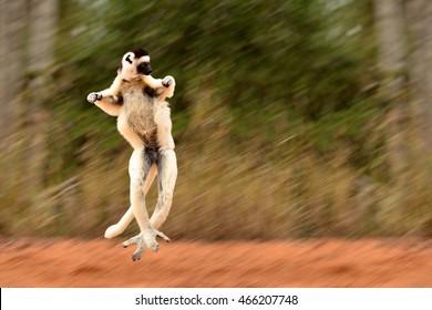 Blurred motion of Sifaka, Propithecus verreauxi, lemur of Madagascar jumping