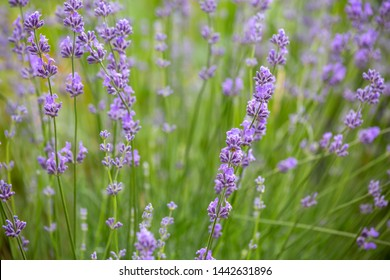 the blurred natural background consists of beautiful purple inflorescences of Lavandula angustifolia. flowering lavender used in landscape design, in medicine, in the perfume industry. copy space.