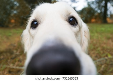 Blurred nose of a golden retriever. He looks plaintively into the camera. Walking in the fresh air with a dog.