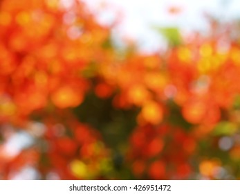 blurred orange flowers (flamboyant, flame tree, royal poinciana or red bird of paradise), tropical plant with beautiful colorful inflorescence widely grown in public park, abstract natural background