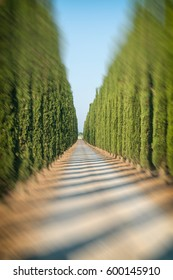 Blurred out rows of cypresses in Tuscany at sunset.