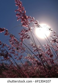 Blurred pampas grass and sun on background