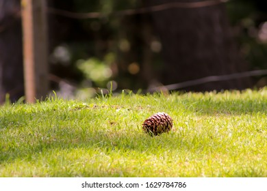 Blurred park grass close up and pine cone isolated. Graphic design. Natural background