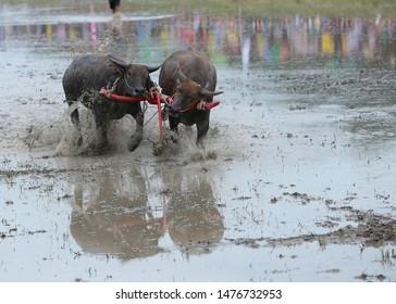 blurred photo, Buffalo is running in a buffalo run tradition in Chonburi, Thailand.