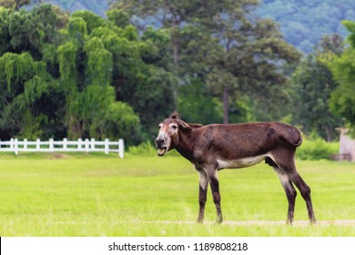 blurred photo,Mule is a mixed species of mules and mules. Mule is commonly used as a vehicle for transport of animals. Mule's distinctive features are cleverness, speed, patience, stable footing