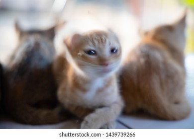 Blurred picture of Short hair white orange kitten Flicking his head and lying on his side with his mother in the morning.