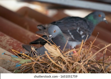 Blurred pigeon on nest on roof of house building