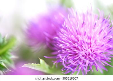 Blurred pink Blessed milk thistle flower, close up, shallow dof. Silybum marianum herbal remedy, Scotch thistle, Cardus marianus, Marian Thistle, Mary Thistle, Saint Mary's Thistle