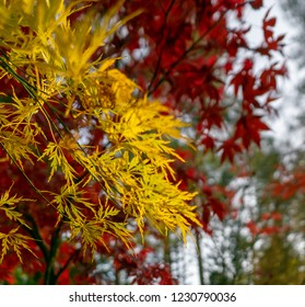 Blurred red Japanese maple in front of sharp yellow fan maple (Acer japonicum)