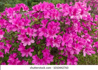 Blurred Rhododendron pink flower fresh blooming on morning light. Pink Rhododendron flower.Rhododendron flower pattern.