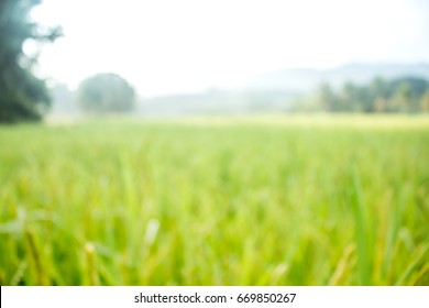 Blurred rice spike in Paddy field on autumn design for presentation background.