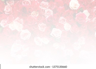 Blurred rose background with soft style and white gradient from buttom, copy space for text