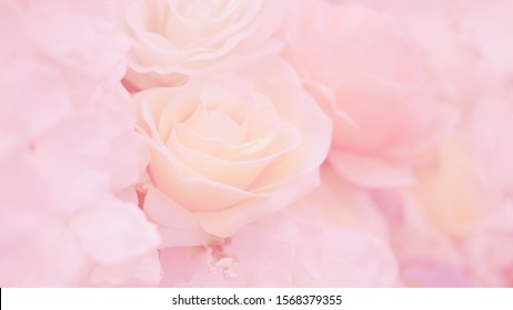 Blurred of rose flowers pink blooming. in the pastel color style for background.