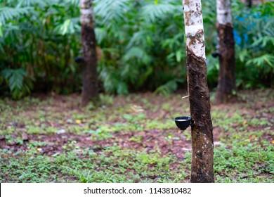 Blurred rubber stem or isoprene rubber in garden