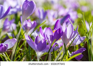 Blurred Spring background with Blooming Crocus imperati. Flowering carpet from blue Crocus in Early Spring. Crocus Iridaceae ( The Iris Family ) .