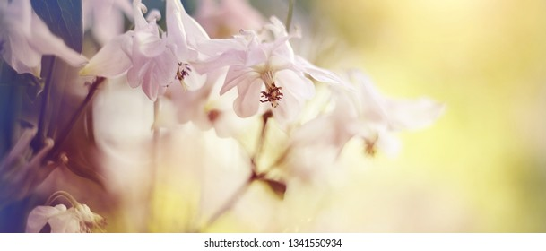 Blurred summer background with flowers of an aquilegia