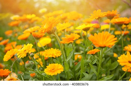 Blurred summer background with growing flowers calendula, marigold. Sunny day. Beautiful Floral Wallpaper