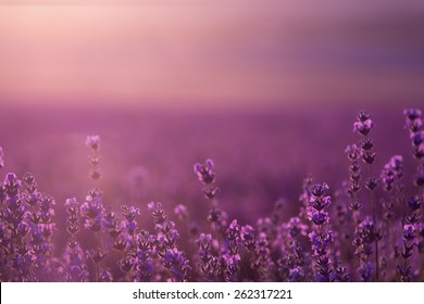 blurred summer background of wild grass and lavender flowers, soft focus