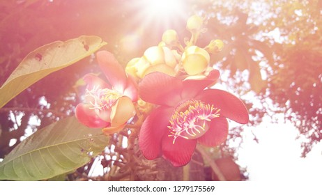 Blurred sunlight reflect Cannonball or Shorea robusta Roxb or Sala tree, wonderful red flowers and branch on the tree.