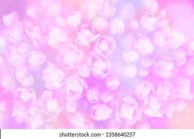 Blurred texture and wallpaper of blooming flowers bouvardia dark pink double diamond princie with colorful bokeh.