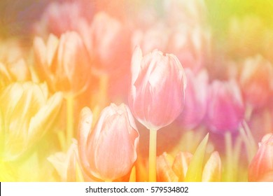 Blurred tulip flowers blooming on colorful background