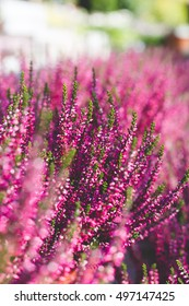 blurred violet background with flowering pink ling, calluna vulgaris plants outdoors