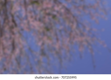 Blurred of The wild himalayan cherry blossom in Thailand