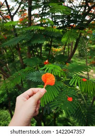 Blurred woman hand holding beautiful red and orange petal of Flame Tree : Royal Poinciana, Flamboyant,Peacock Flower on branch, with green leaves on the big tree in rainy season, Soft focus