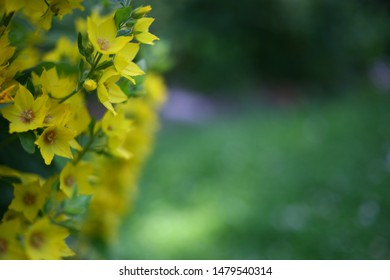 Blurred yellow Loosestrife in a garden with beautiful flowers. moneywort on the background of green summer leaves. Natural background without focus