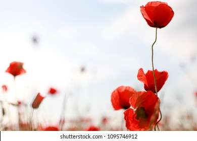 Blurry background of poppy flower field with copy space texture. Red wildflowers