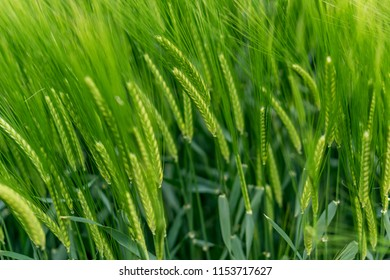 Blurry beautiful landscape, a field of green wheat in Golden Dobrudzha, fluffy white clouds in the sky, a place for advertising. Shallow depth of focus.