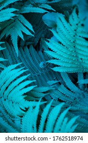 Blurry blue fern leaf texture background looks like cosmic jungle. Selective focus to unusual vibrant turquoise color exotic plants