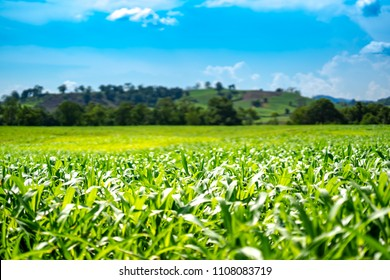 Blurry corn or maize in cornfield of farm on sky blue or azure sky and cloud