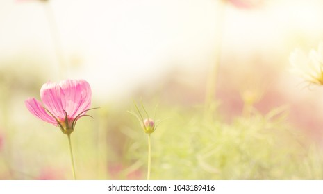 Blurry cosmos flowers, beautiful garden flowers and nature background outdoors close-up macro, Light air delicate artistic image, free space.