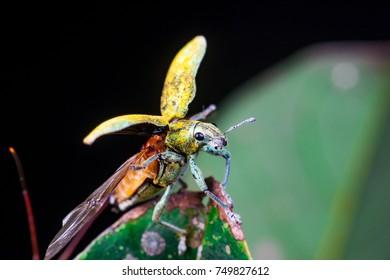 Blurry female Gold Dust Weevil (Coleoptera: Curculionidae: Entiminae: Tanymecini: Piazomiina: Hypomeces squamosus) hardened forewings raised, hindwings unfolding on a leaf isolated black background