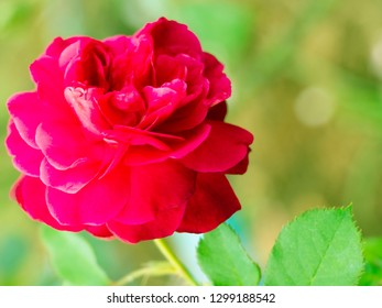 Blurry image of pink rose by filter effect in close-up.