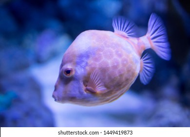 Blurry photo of a porcupine puffer fish freckled porcupinefish in a clear sea aquarium water