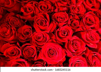 Blurry red floral background. Red roses background. Texture of red flowers. Top view on red roses. Close-up, cropped shot, horizontal. Nature's beauty.