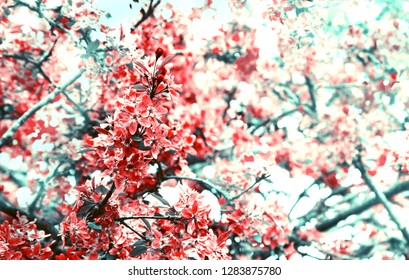 Blurry retro aged photo of tree blossom. Selective focus, blur, bokeh. Watercolor painting effect. Blue red colors. Vintage floral background.
