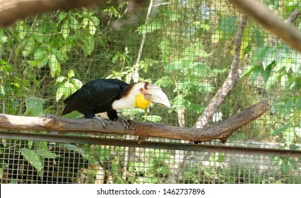 Blurry and selective focus of Wreathed Hornbill  (Rhyticeros undulatus). In Indonesia is known as Rangkong Julang Emas.