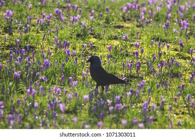 Blurry silhouette of a jackdaw standing on grass covered with purple flowering crocuses