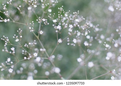 Blurry soft gentle background with many white Baby's Breath flowers (Gypsophila paniculata) in the garden. Nature background with Common Gypsophila flowers. Soft dreamy image.