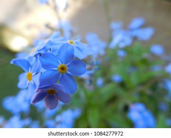blurry styled macro forget-me-not blue flower for background design