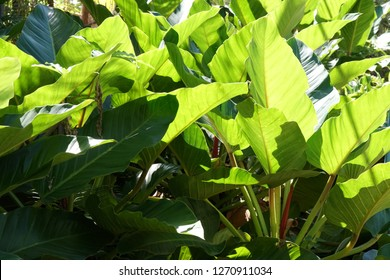 Blushing Philodendron or California Trixis, Philodendron erubescens