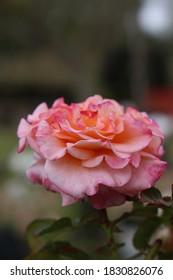 Blushing pink wild rose