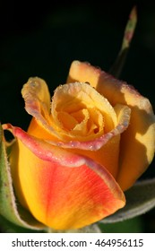 A blushing yellow rosebud just opening early in the morning with dew covering all the petals