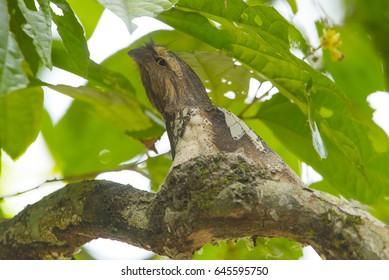 Blyth's Frogmouth on a nest