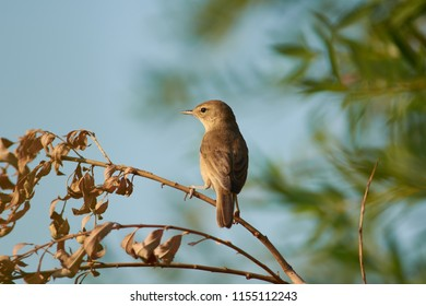 Blyth's reed warbler (Acrocephalus dumetorum) sits half-turned on a dry branch of willow near to the nest.